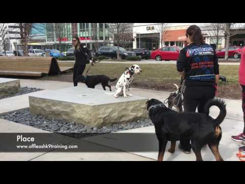 5 Months Dalmatian, Pongo  | Dalmatian Dog Training | Off Leash Dalmatian