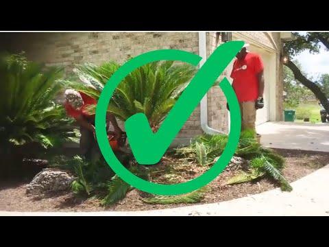How to trim a Sago Palm