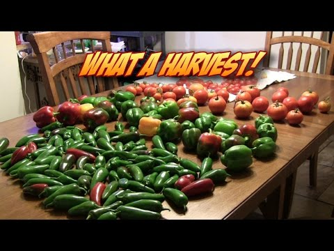 Garden Update & A BIG Harvest!