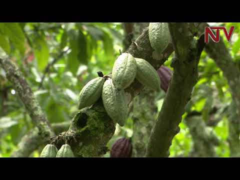 ON THE FARM: How cooperatives have boosted Cocoa production