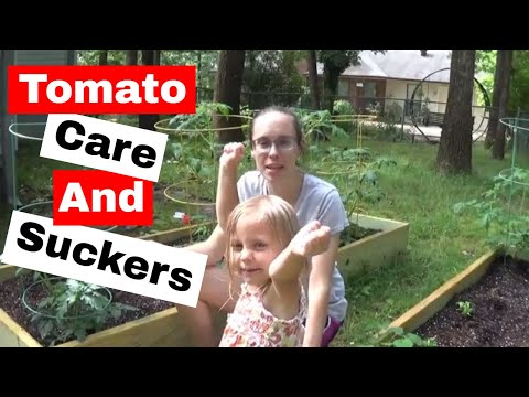 Tomato Care, Pruning, and Tomato Suckers