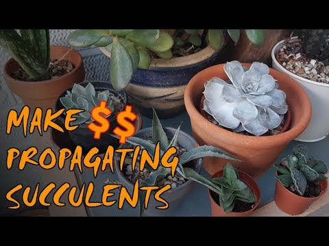 Make Money On Your Homestead | Propagating Succulents