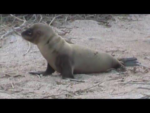 Adorable Sea Lion pup - Galapagos Islands 1999