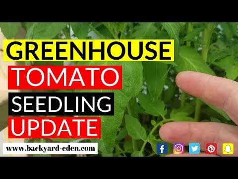 Tomato Seedling Update | Greenhouse Tomatoes