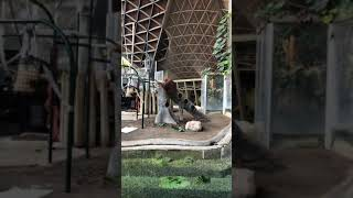 Toronto Zoo Orangutan Keeper Talk on Facebook LIVE