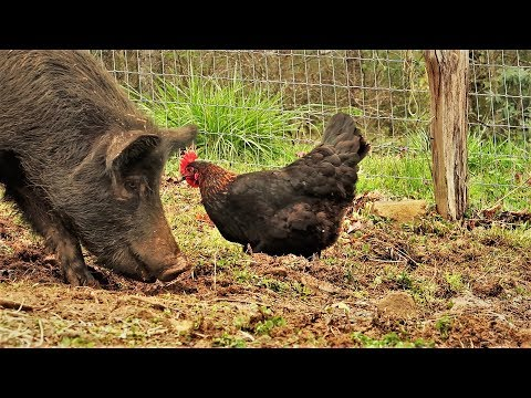 Put Pigs And Chickens TOGETHER, What Happens?