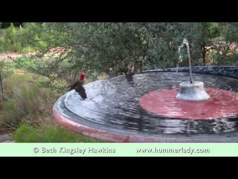 Bathing Beauties — Hummingbird Style!