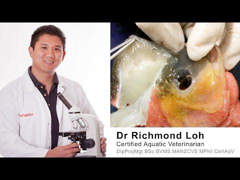 Flowerhorn cichlid nuchal hump (Water Kok) tissue examination under microscope.