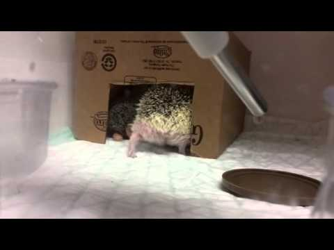Signs your hedgehog is in distress!!!!