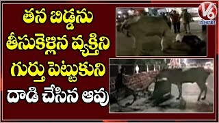 Cow Attacks On Rickshaw Man For Removing Calf Carcass In Machilipatnam | V6 News