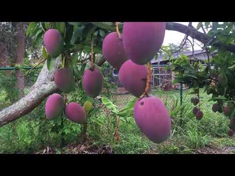 Pruning Mango Tree South Florida Update 3