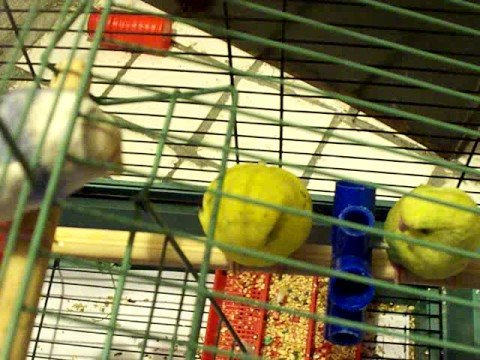 Parakeets  Sing Polly Wolly Doddle All Day