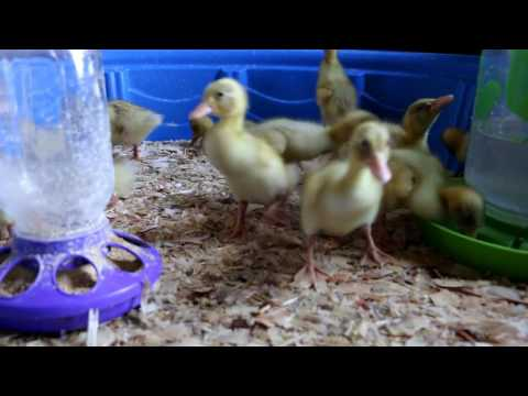 RAISE DUCKLINGS WITHOUT A HEAT LAMP?