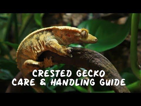 Crested Gecko - CARE & HANDLING GUIDE!!
