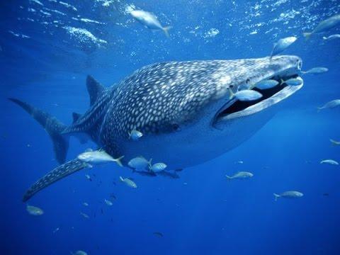 Cozumel Whale Sharks