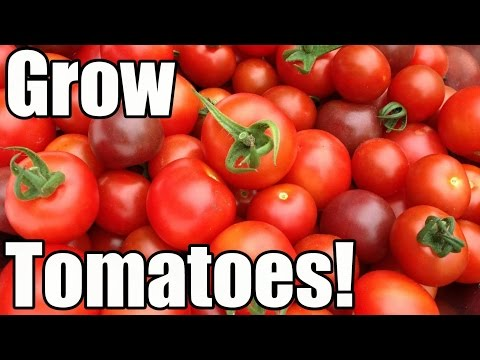 How to Grow Tomatoes from Seed to Harvest (The OYR Way to Early Harvests & Larger Yields)