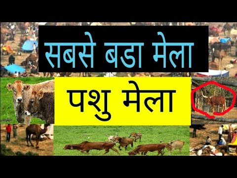 पशु मेंला cow market / red sindhi, sahiwal, geer, tharpakr buffalo 2018  का सबसे बडा पशु मेला