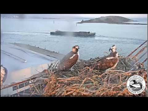 Three osprey and a barge  July 24, 2017