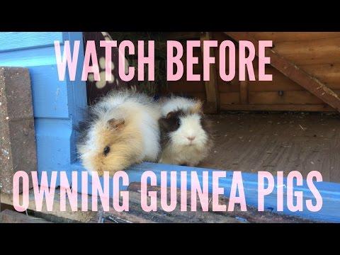 A BEGINNERS GUIDE TO GUINEA PIG CARE | Furry Friends