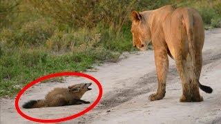 #x202b;ما فعلته هذه اللبؤة بهذا الثعلب يتحدى الطبيعة بصدق !!#x202c;lrm;