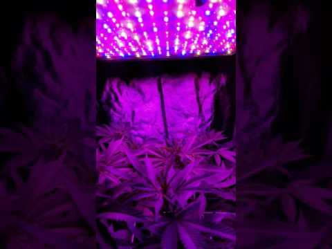 1600w Mars II LED grow setup with motorized light rail.