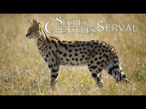 Secret Creature: Serval Cat
