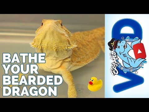The BEST Way to Give Your Bearded Dragon a Bath | Big Al's