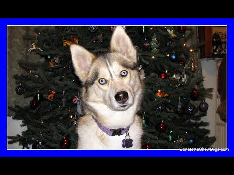 Huskies Help Decorate the Christmas Tree 2009 | Shiloh and Shelby