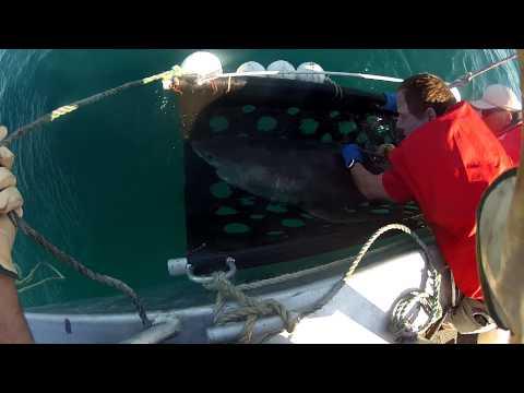 Ballina tagged shark release