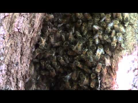 NEVER SEEN BEFORE honeybees in tree removal