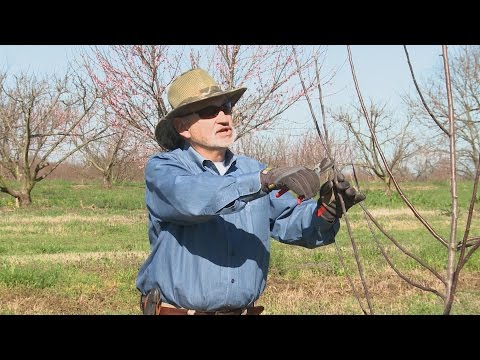 Pruning Apple and Pear Trees - Family Plot