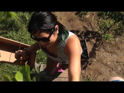 Cherry Avenue Farms / Pick your own fruits / what to do near niagara falls