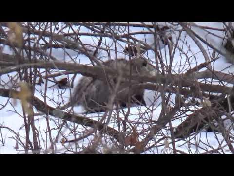 Opossum in the snow. THE TENT Winter Trip. Louisiana.