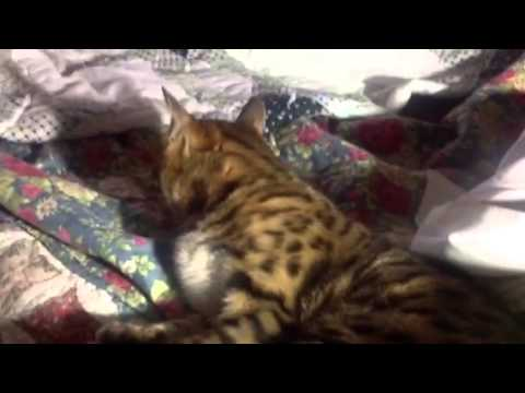 Bengal - cured of peeing on couches