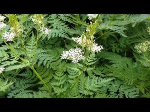 Sweet Cicely - Perennial Licorice Candy!