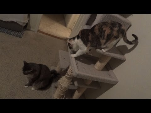 Female cat gets revenge on her mean brother!