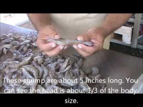 How to Freeze Fresh Caught Shrimp