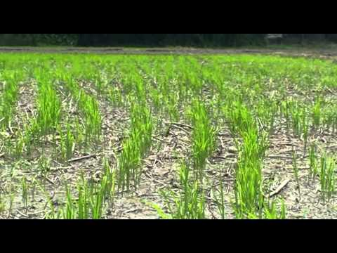 Direct Dry Seeded Rice production technology