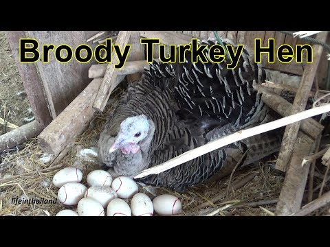 Giving ducks eggs to a broody turkey, Hatching duck eggs.