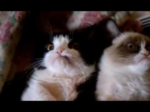 Grumpy Cats Derping