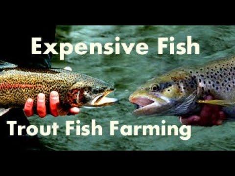 Trout Fish Farming in Pakistan