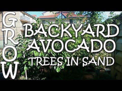 How to Grow Backyard Avocados in Sandy Soil