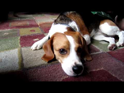 Belle the Beagle: Using an Ice Pack for Dog Seizures