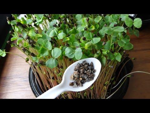 How to Grow Buckwheat Microgreens - Cheap Easy Method