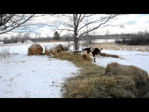 Wintering hogs in cold weather