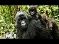 Download  Combat De Gorilles - Animal Fight Club MP3,3GP,MP4