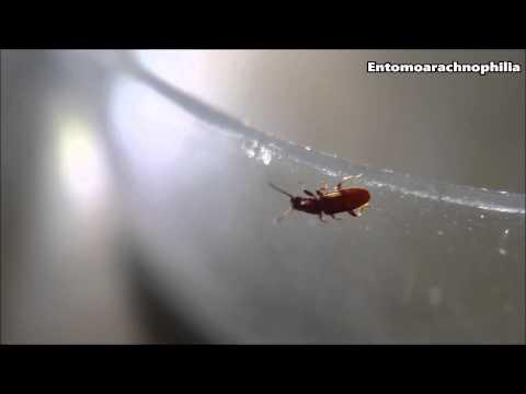 خنفساء الحبوب منشارية الأسنان   Sawtoothed Grain Beetle   Normal/10x/15x/60x