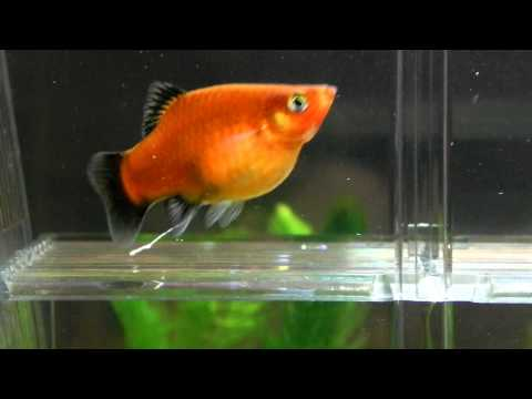 Is my platy pregnant? giving birth soon?