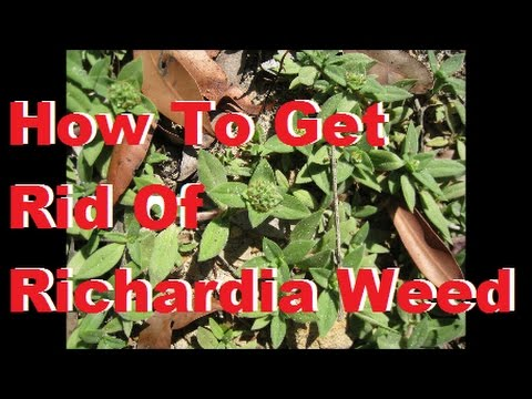 Richardia Weed [Richardia humistrata] [How To Get Rid Of Oxalis] [How To Get Rid Of Wintergrass]