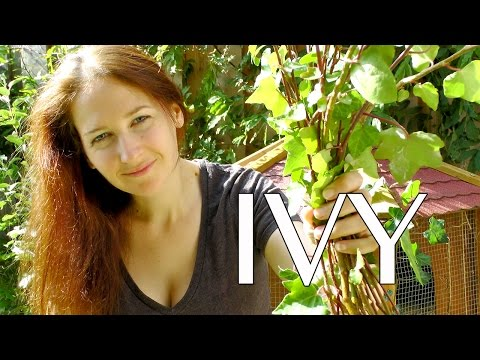 Ivy: How to Propagate Ivy - How to Grow a Beautiful Garden with Scarlett
